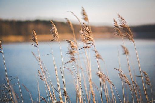 Dry, Dried, Grass, Lake, Reed, Reeds, Phragmites