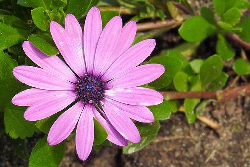 Bornholm Marguerite, Magarite, Pink, Blossom, Bloom
