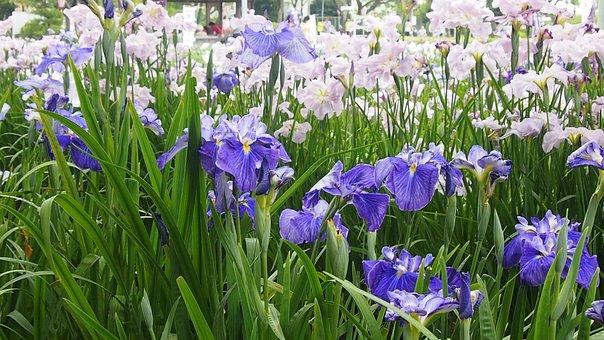In The Early Summer, Rabbitear Iris, Purple