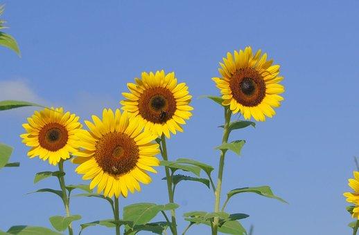 Sunflower, Yellow, Blue, Sky, Summer, Nature, Landscape