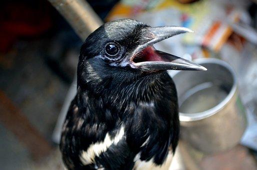 Animals, Bird, Mynah, Pet, Pets, Talk, Talking Bird