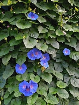 Morning Glory, Blue Flowers, Summer Flowers, The Vine