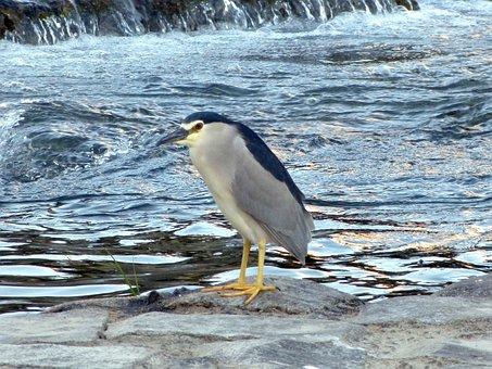 Black Crowned, Night Heron, Bird, Water, River, Nature