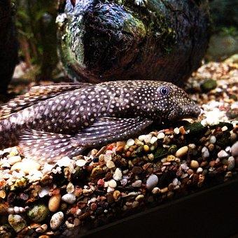 Fish, Beard Catfish, Ancistrus, Aquarium Fish, Pet