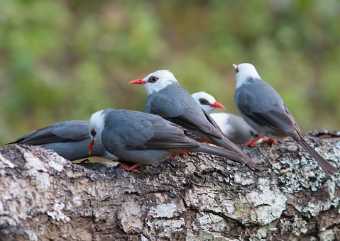 Grey-white Head Prot, Birds, Angkhang