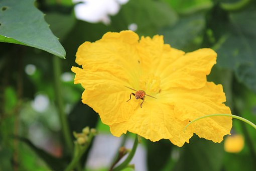 Yellow Flowers, Luffa Flowers, Bee, Collecting Nectar
