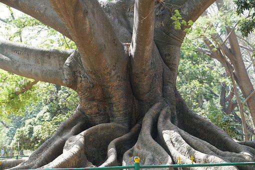 Big Tree, 200 Years Old, Ancient, Bangalore, Garden