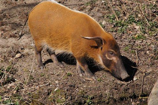 Brush Ear Pig, Pig, Mammal
