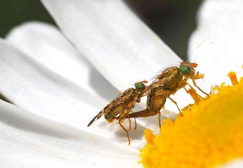 Bohrfliegen, 8 Mm, Green Eyes, Copulation