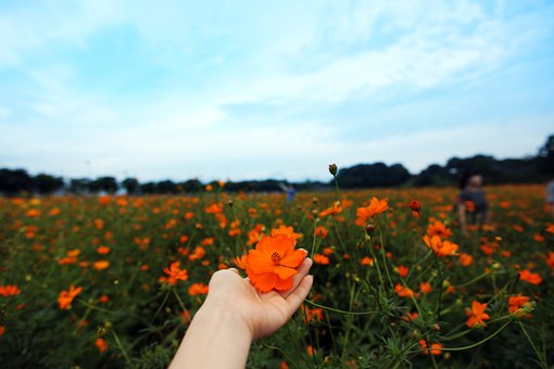 Sky, Cheomseongdae, Cosmos, Hand, Nature, Autumn