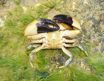 Xantho Poressa, Crab, Nature, Outside, Macro, Close-up