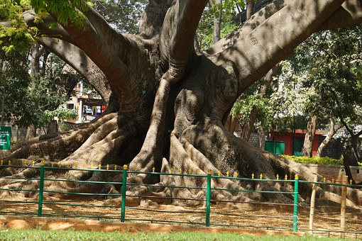 Tree, 200 Years Old, Ancient, Bangalore, Garden
