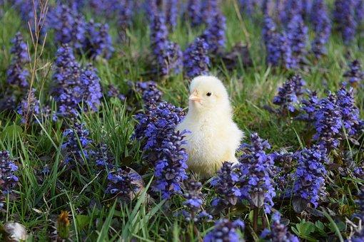 Chick, Chicken, Leghorn, Poultry, Hen, Bird, Baby
