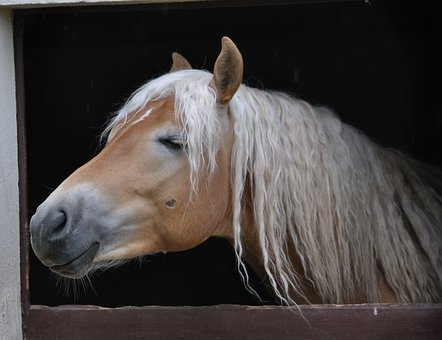Stallion, Horse, Horses, Long Mane, Horse Head, Animal