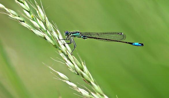 Dragonfly, Unlucky Dragonfly, Ischnura Elegans