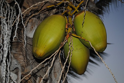 Kokusnuss, Fruits, Palm