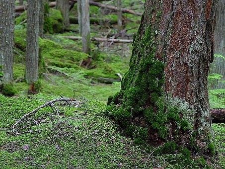Woods, Forests, Trees, Mossy, Forest, Landscapes
