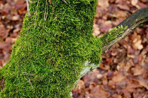 Mossy Trunk, Moss, Tree, Forest