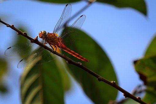 Dragonfly, Nature, Insect, Sky, Tree, Leaf, Flight