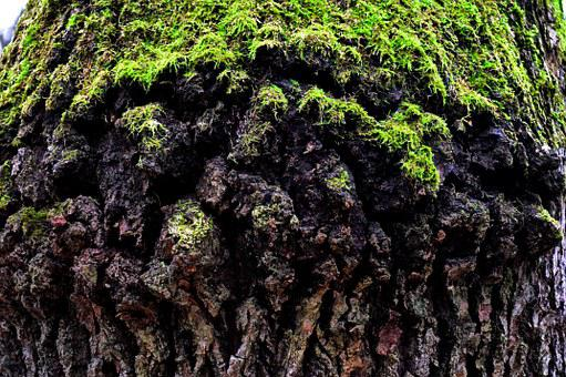 Old Tree, Mossy Tree Trunk, Nature