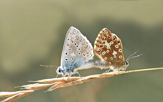 Silver Green Large Blue, Pairing, Polyommatus Coridon