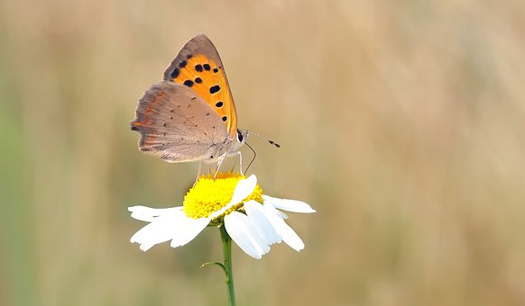 Butterfly, Small Fire Falter, Chamomile