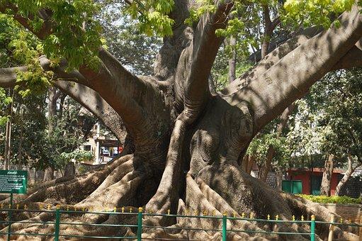 Tree, 200 Years Old, Bangalore, Garden