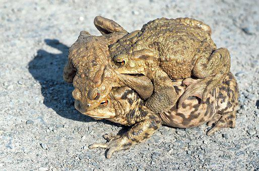 Toads, Hike, Pairing, A Soft, Two Males, Water