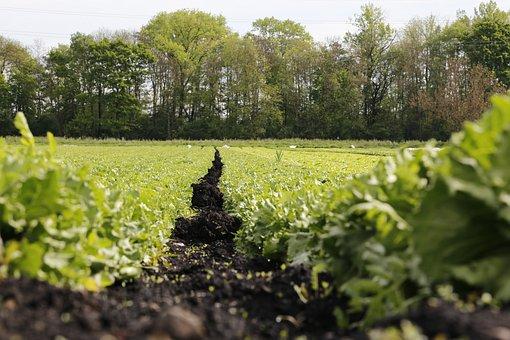Salad, Field, Vegetables, Agriculture, Switzerland