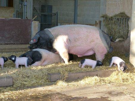 Pigs, Boar, Sow, Piglet, Animal, Mammal, Farm, Breeding