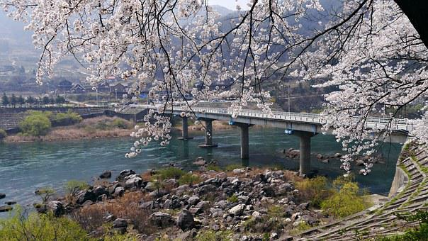 Cherry Blossom, Chungju Lake, In The Spring I'm Back