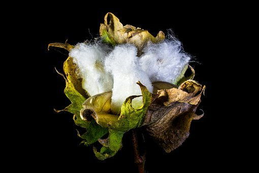 Cotton Capsule, Cotton, Cotton Shrub, Plant