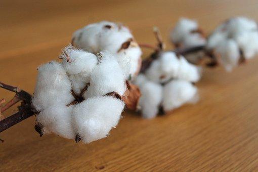 Cotton Branch, Cotton, Plant, Branch, White