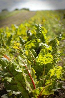Salad, Field, Organic, Food, Farm