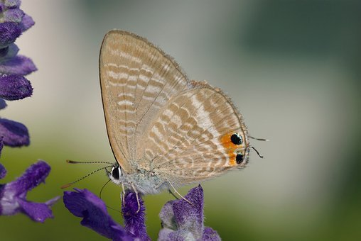Great Wanderbläuling, Butterfly, Butterflies, Long Blue