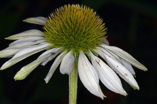 Echinacea, Macro, White, Sun Hat, Flower