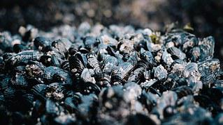 Common Mussels, Shellfish, Mussels, Seafood
