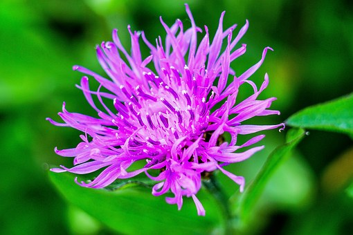 Spotted Knapweed, Nature, Spring, Purple, Plant