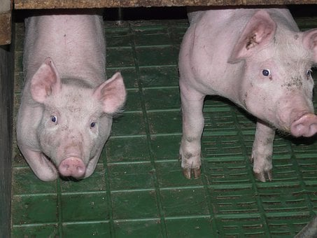 Piglet, Pig, Young, Sweet, Cute, Pink, Stall, Animal