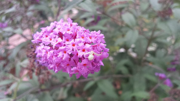 Spider, Flower, Butterfly Bush, Butterflies, Insect