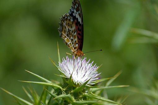 Butterfly On White Wild Flower, Macro, Butterfly