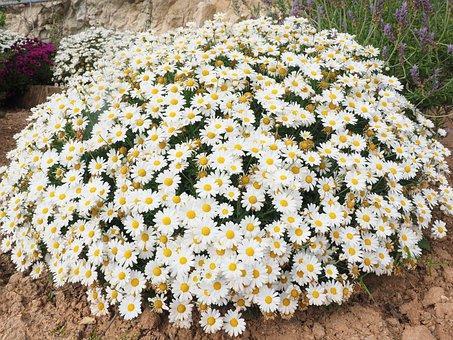 Daisies, Flowers, Marguerite, Composites