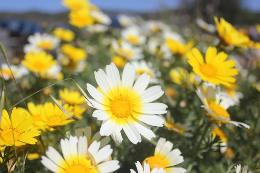 Flower, Daisy, Field, Spring, Green, Nature, Flowers