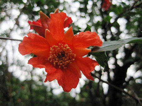 Flower, Bloom, Orange, Bright, Pomegranate, Delicate