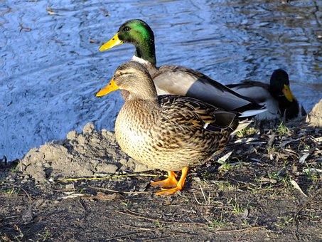 Wild Ducks, Game Birds, Waterfowl, Duck, Mallard Duck