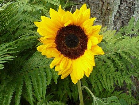 Sun Flower, Garden, Yellow, Summer, Decorative, Nature