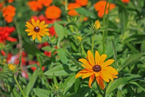 Black-eyed Rudbeckie, Flowers, Meadow, Nature