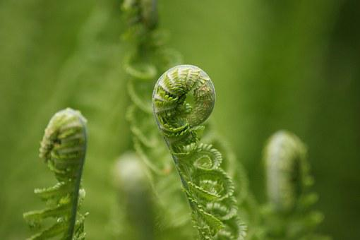 Fern, Green, Roll, Roll Out, Forest, Fiddlehead, Nature