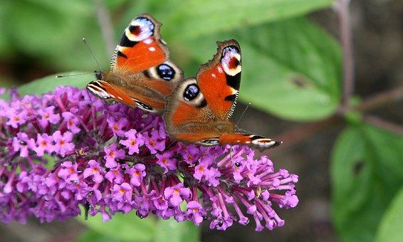 Butterfly, Påfågelsöga, Butterfly Bush, Syrenbuddleja
