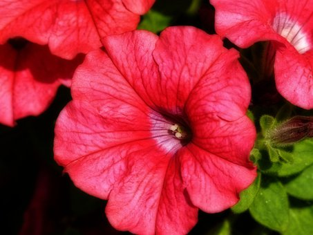 Red, Petunia, Close-up, Flower, Garden, Summer, Plant